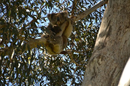Kangaroo Island Odysseys: Koala con cucciolo