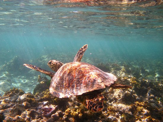 Curieuse Island: Hawksbill turtle