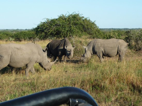 andBeyond Phinda Vlei Lodge:                   White & Black Rhino Josling over territory! A rare sighting.
