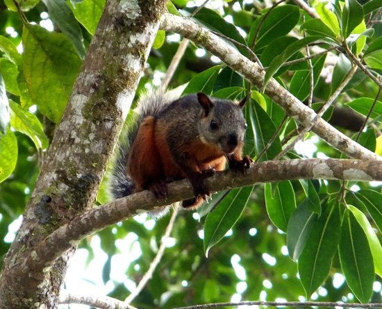 Villa Decary:                   Costa Rican squirrel