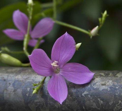 Hoomaluhia Botanical Gardens :                   fuschia begonia
