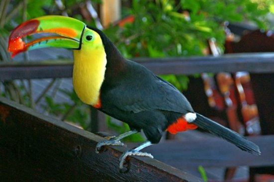 Adventure Park and Hotel Vista Golfo: Toucy the resident toucan visited for breakfast.