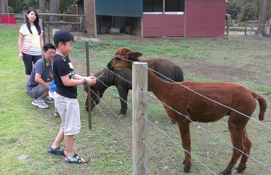 Bilpin Springs Lodge: Feeding Apacas & Pony