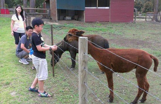 Bilpin Springs Lodge : Feeding Apacas & Pony