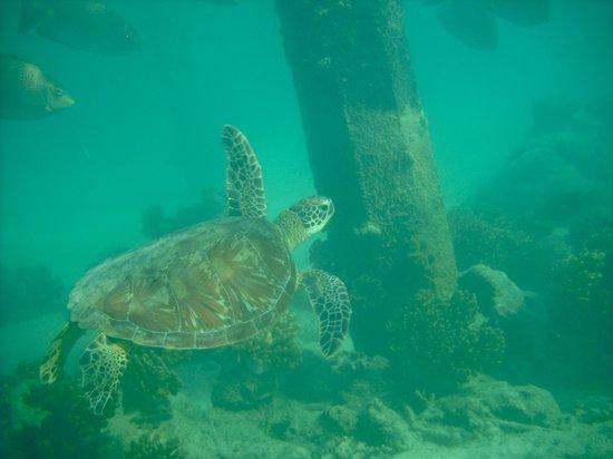 Green Island Resort:                   underwater view beneath jetty and sea turtles plentiful                  