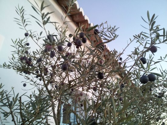 Herdade da Malhadinha Nova:                   Olive Tree next to Building