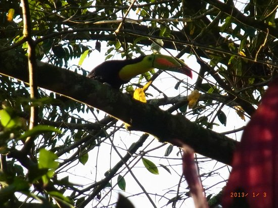 Chachagua Rainforest Eco Lodge:                   Toucan!!