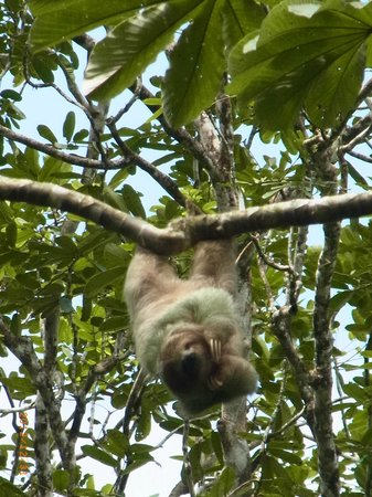 Chachagua Rainforest Eco Lodge:                   sloth