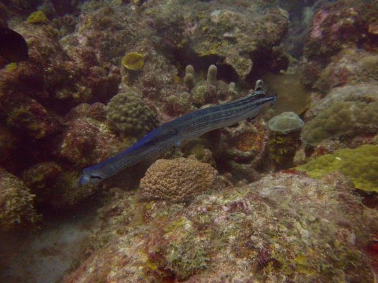 Gentle Winds Condominiums: Trumpetfish in blue - a rare sight.