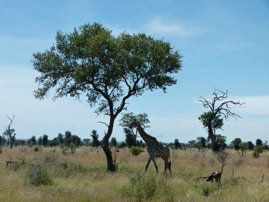 Game drives at Phalaborwa Gate in Kruger National Park:                   Giraffe walk