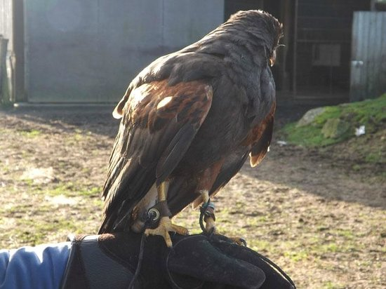 Dartmoor Hawking Falconry Experience: Flying the hawk