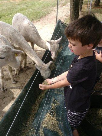 Madison's Mountain Retreat:                   Hand feeding the Alpacas