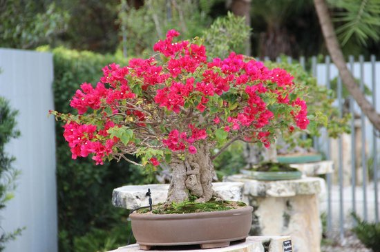 Heathcote Botanical Gardens:                   Most unusual bonsai