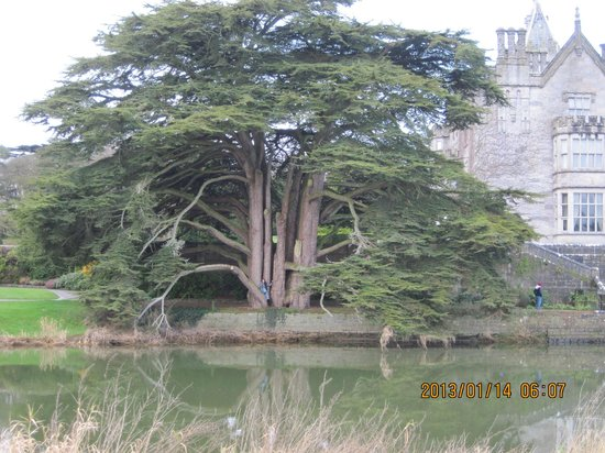 Adare Manor:                   an 500 years old tree in the manor