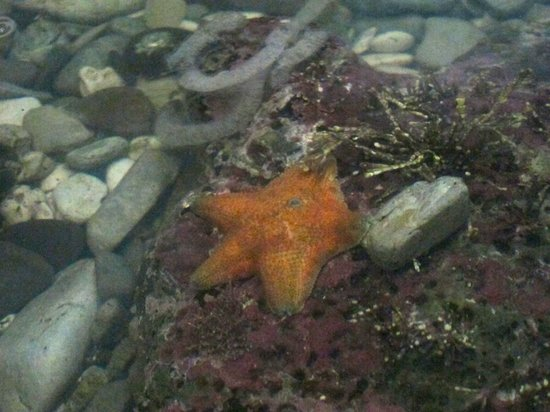 Kaikoura Marine Aquarium: starfish on display...there is a tank that allows kids to touch some harmless marine creatures