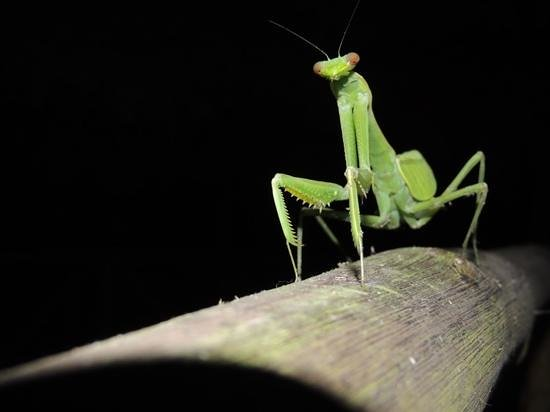 Muyuna Amazon Lodge: Mantis en el lodge