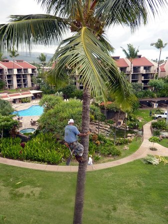 Kamaole Sands:                   Palms trimmed the Hawaiian Way