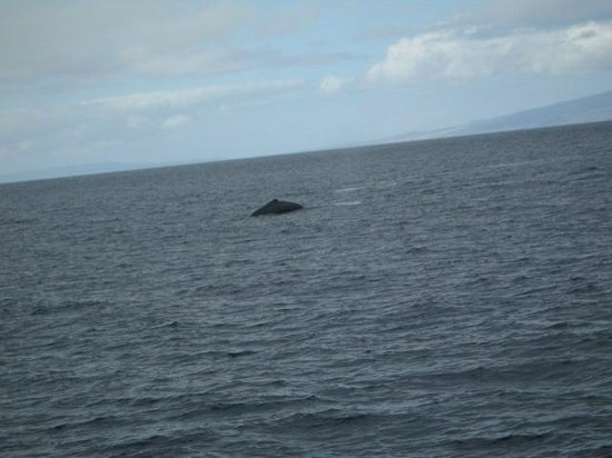 Hawaii Ocean Project:                   Humpback whale