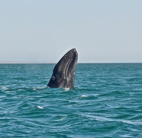 Guerrero Negro, Mexico: muso di balena