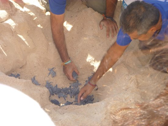 Hacienda de la Tortuga: Turtle hatching