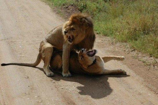 Seronera: leones en la luna de miel