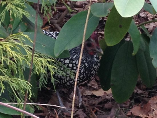 Mansion District Inn Bed & Breakfast:                   Heirloom chicken hiding under rhodendendrum