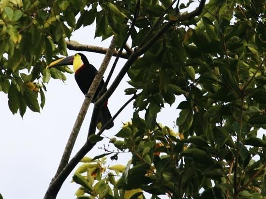 Cerro Chato Eco Lodge:                   toucan spotted at Cerro Chato lodge