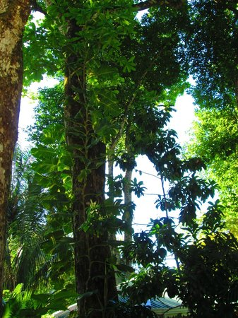 El Pequeno Gecko Verde:                   the canopy