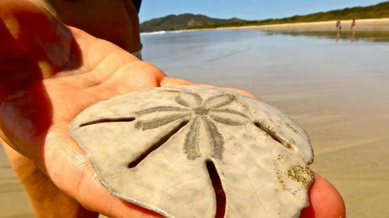 Hotel Cantarana: Sand dollar at Playa Grande