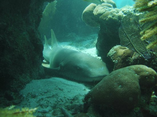 Snake Cayes: Nurse Shark