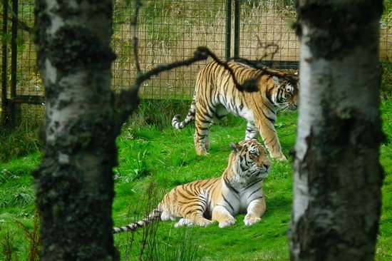 Highland Wildlife Park: Amur tigers