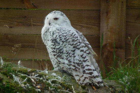 Highland Wildlife Park: Snowy owl