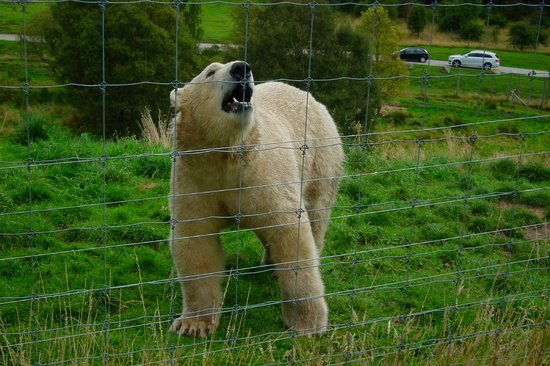 Highland Wildlife Park: Walker -one of the polar bears