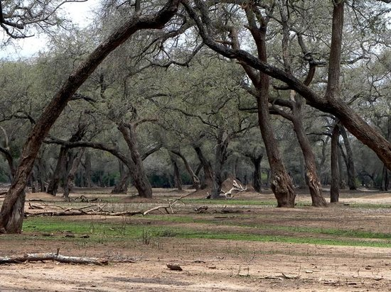 Camping Sites at Mana Pools National Park: Mana's blue trees...
