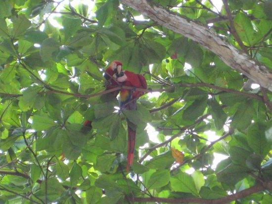 El Remanso Lodge:                   Macaw parrots
