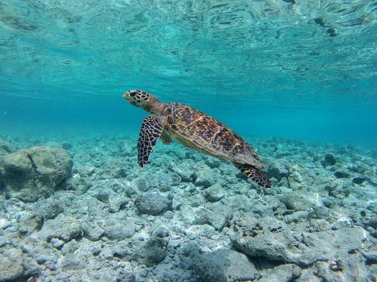 Constance Moofushi: sea turtle at the reef of the island