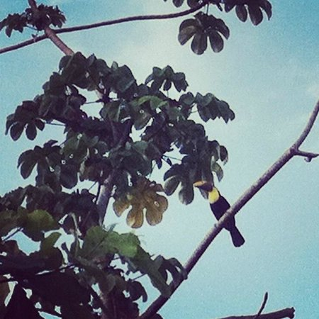 Pacific Edge:                   Toucans outside our room