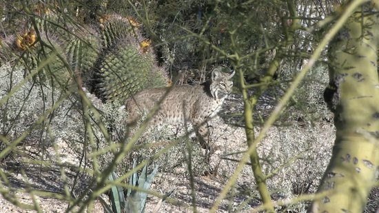 Hacienda Del Sol Guest Ranch Resort:                   Backyard Bobcat