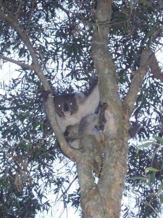 Wanderers Retreat:                   koala