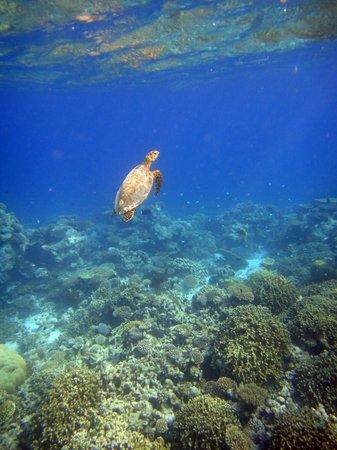 Baros Maldives: 海ガメは、いつでも会えるわけではないそうです