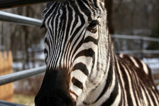 Rocking Horse Ranch Resort:                   Zebra