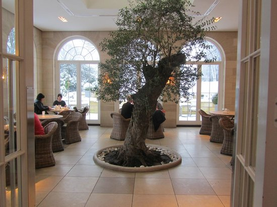 Rudding Park Hotel:                   A real 400 year old olive tree to admire as you dine !