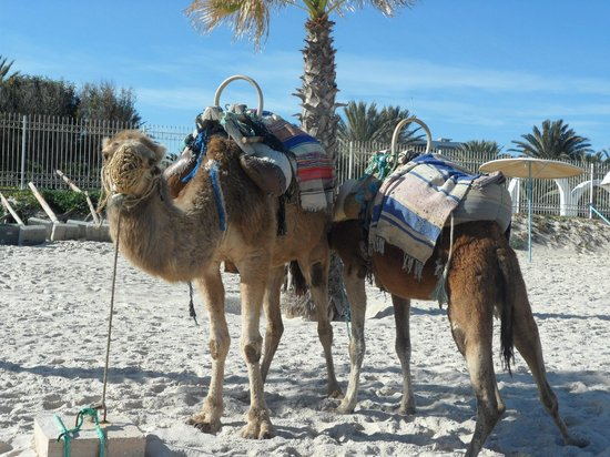 El Mouradi Club Kantaoui: Camels on the beach