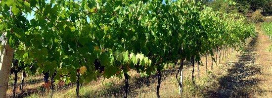 Agriturismo La Volpe e l'Uva: vigneto