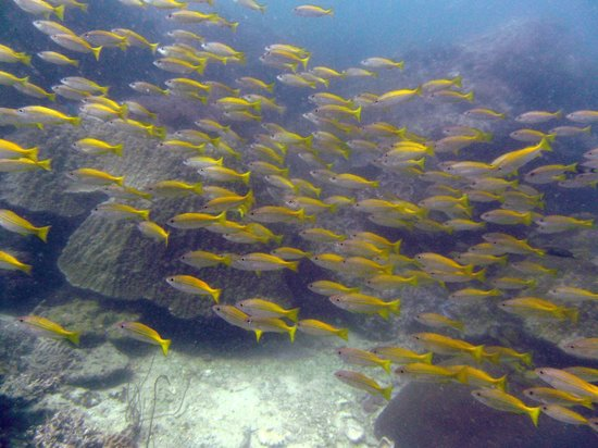 Super Divers:                   Yellow Fusilies? Should be.