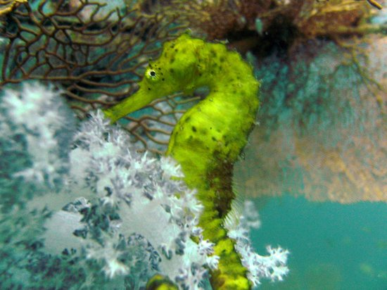Супер-дайверс Пхукета:                   Yellow Sea Horse. A beauty. Almost luminous. Very Bright.