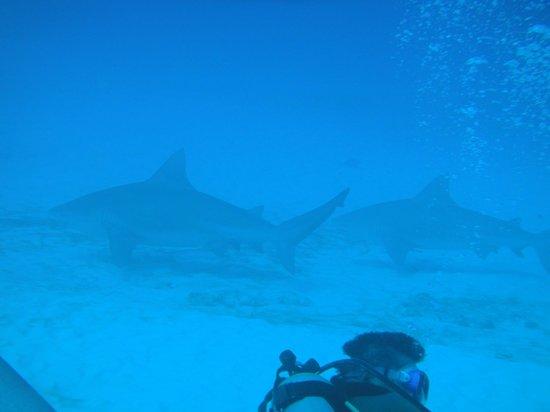Fantasea Dive - Diving & Adventures :                   More Bull Shark