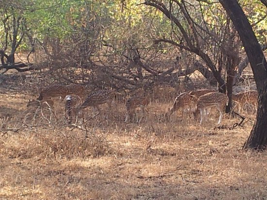 Hotel Green Park : Spotted deer at Sasan