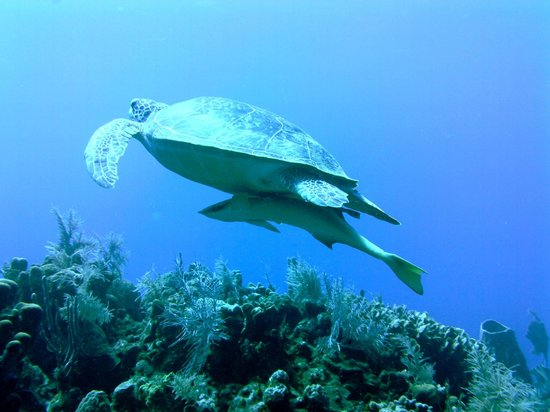 Tranquilseas Eco Lodge and Dive Center:                   More turtle