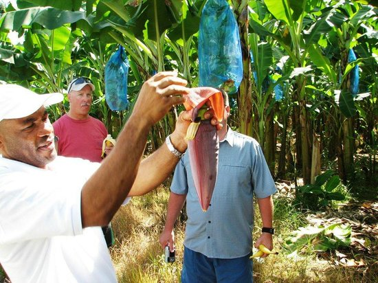 Cosol Tours: The banana tree farm... got to pick our own bananas.